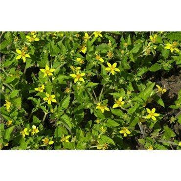 Chrysogonum virginianum ( Goldkörbchen )