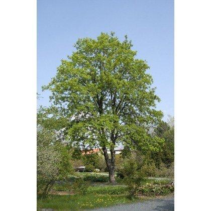 Acer pseudoplatanus auf Stamm( Bergahorn, Berg-Ahorn )