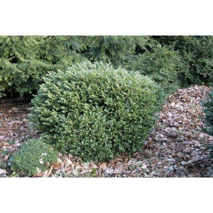 Buxus sempervirens Suffruticosa (Buis)