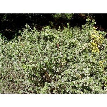 Euonymus fortunei Emerald Gaiety ( Spindelstrauch )