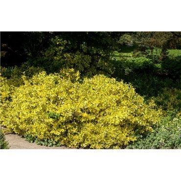 Euonymus fortunei Emerald' n' Gold ( Spindelstrauch )