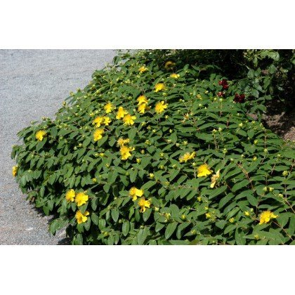 Hypericum calycinum (millepertuis)
