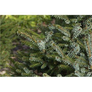 Picea omorika Nana (sapin de Serbie nain)