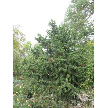 Pinus aristata ( Grannen- Kiefer )