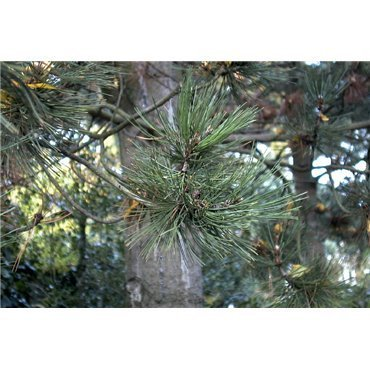Pinus leucodermis  ( Schlangenhaut- Kiefer )