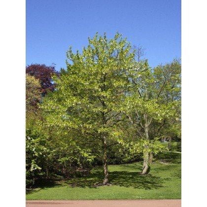 Davidia involucrata ( Taubenbaum, Taschentuchbaum )