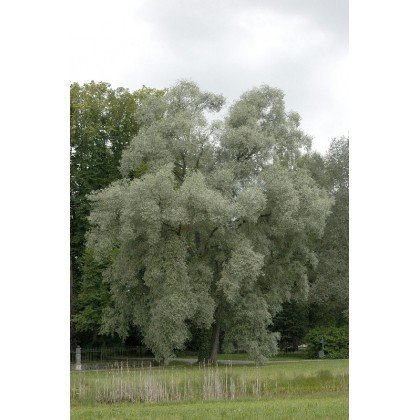 Salix alba (saule blanc)