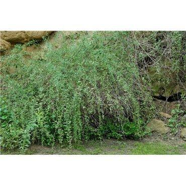 Lycium barbarum ( Gojibeeren )