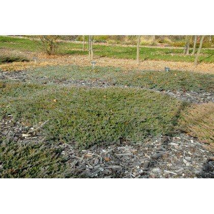 Juniperus horizontalis Blue Chip (genévrier)