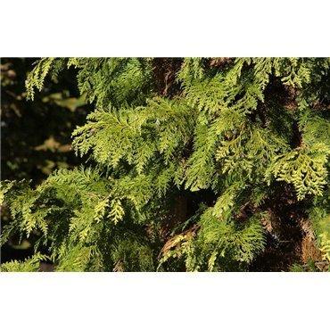 Chamaecyparis lawsoniana Stardust ( Scheinzypresse )