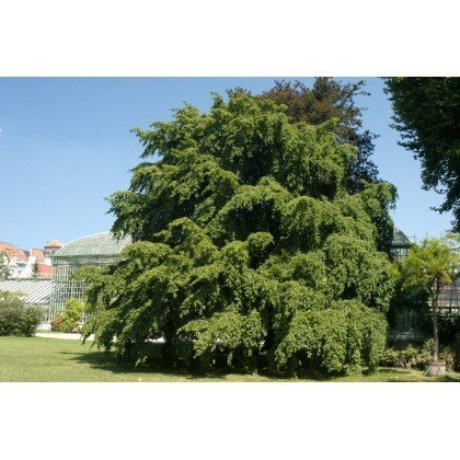 Carpinus betulus (charmille, charme)
