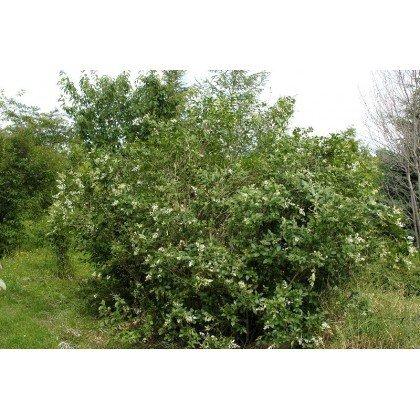 Ligustrum ovalifolium ( Liguster )