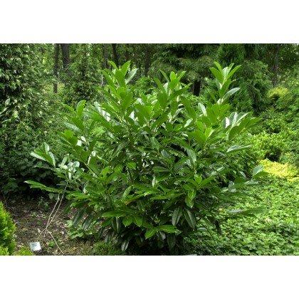 Prunus laurocerasus-Caucasica (laurier cerise, laurelle)