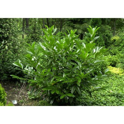 Prunus laurocerassus Caucasica ( Kirschlorbeer )