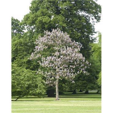 Paulownia tomentosa ( Blauglockenbaum )