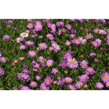 Aster alpinus Happy End (vendangeuse)