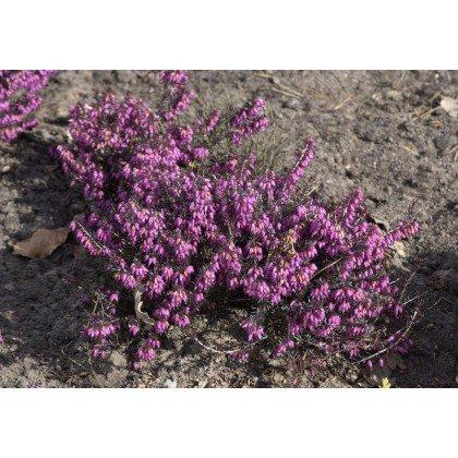 Erica carnea Vivelii (bruyère)