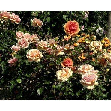 Rosier à grandes fleurs Ashram