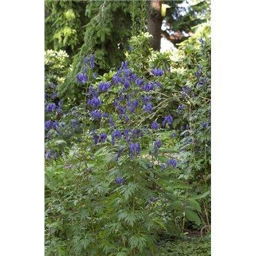 Aconitum napellus ( Blauer Eisenhut )