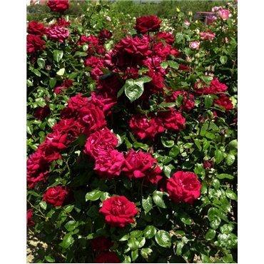 Rosier à grandes fleurs Ingrid Bergmann (R)