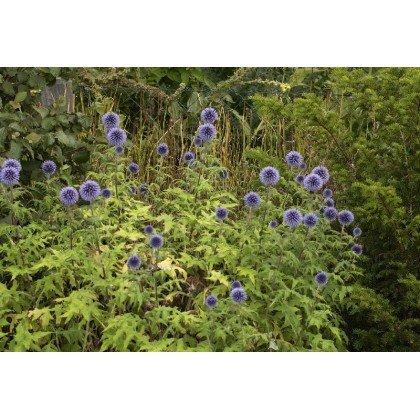 Echinops ritro (chardon bleu)