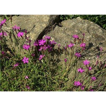 Dianthus deltoides ( oeillet nain )