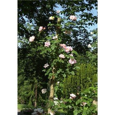 Rosier arbuste Clair Matin (R)