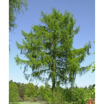 Larix decidua (mélèze des Alpes)