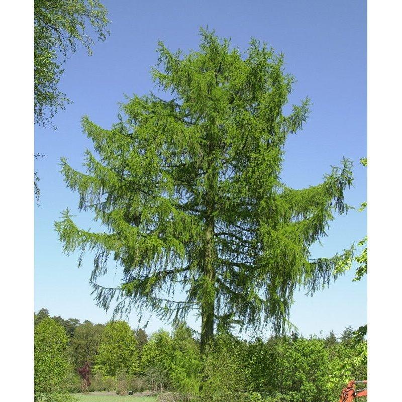 Larix decidua europäische Lärche 250 Samen