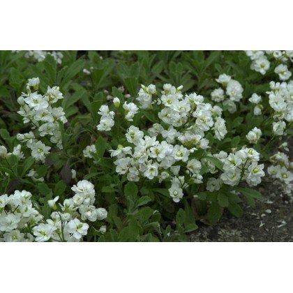 Arabis caucasica Plena ( weisse Gänsekresse, Schneehaube )