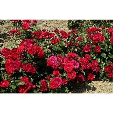 Rosier polyantha et floribunda Ingrid Weibull (R)