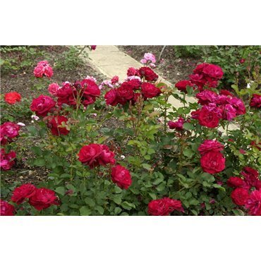Rosier polyantha et floribunda Lilli Marleen (R)