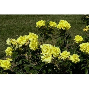 Rosier polyantha et floribunda Friesia (R)