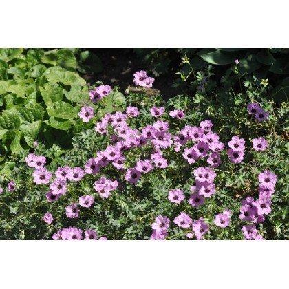 Geranium cinereum Ballerina (geranium vivace)