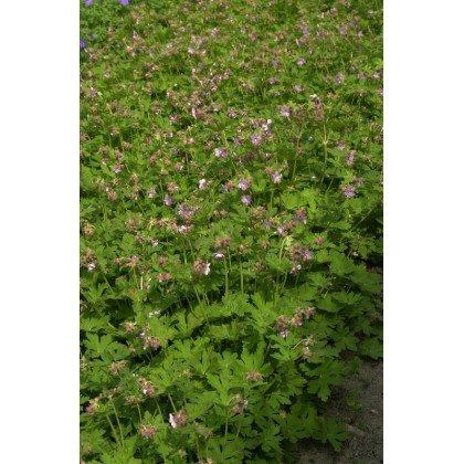 Geranium macrorrhizum Ingwersen's Variety (geranium vivace)