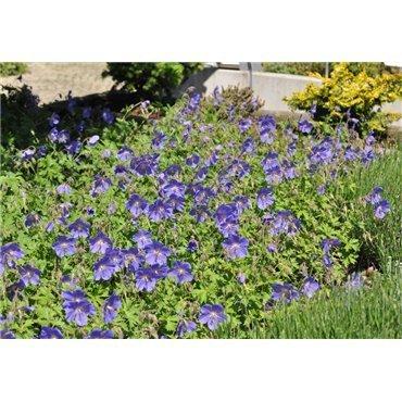 Geranium pratense Johnsons Blue (geranium vivace)