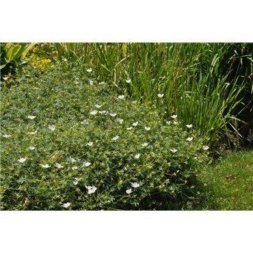 Geranium sanguineum Album (geranium vivace)