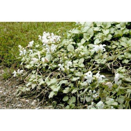 Lamium maculatum White Nancy