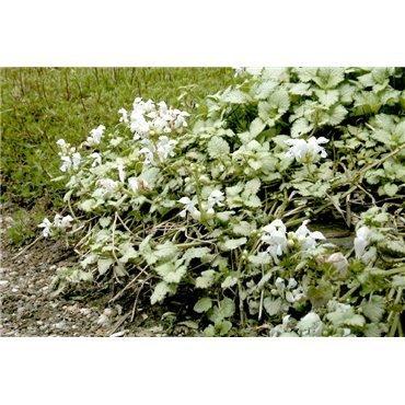 Lamium maculatum White Nancy ( Gefleckte Taubnessel )