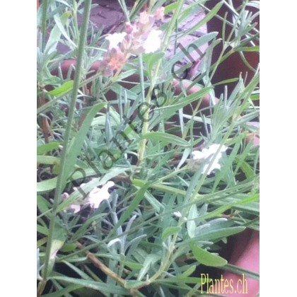 Lavandula angustifolia Edelweiss ( weisser Lavendel )