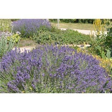 Lavandula angustifolia Hidcote Blue (vraie lavande blue)