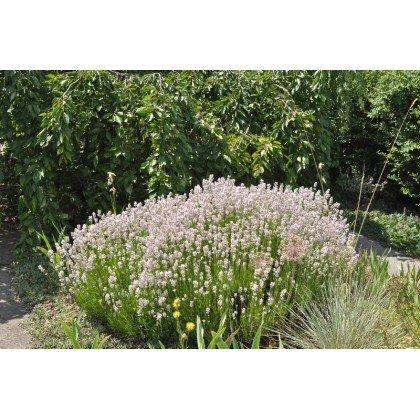 Lavandula angustifolia Rosea (vraie lavande)