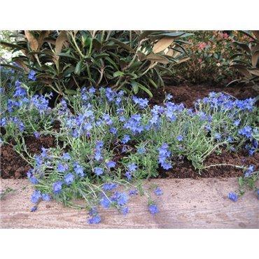 Lithodora diffusa Heavenly Blue (grémil)