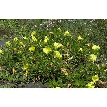 Oenothera macrocarpa (onagre)