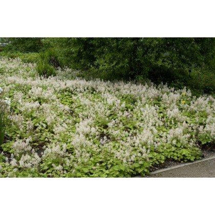 Tiarella cordifolia ( Herzblättrige Schaumblüte )