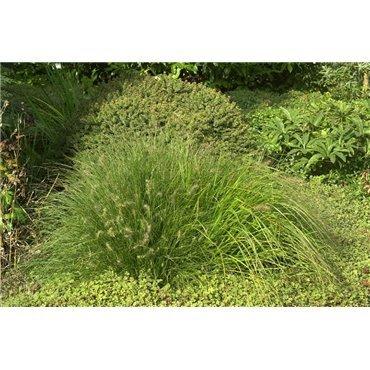 Pennisetum alopecuroides Little Bunny (herbe-aux-écouvillions)