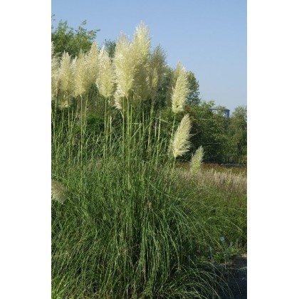 Cortaderia selloana (herbe de la pampa)