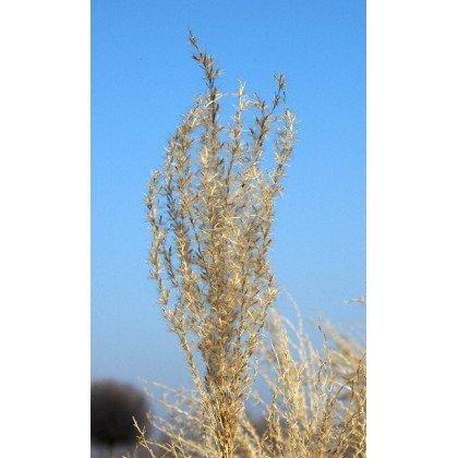 Miscanthus sinensis Silverferder (roseau de chine)
