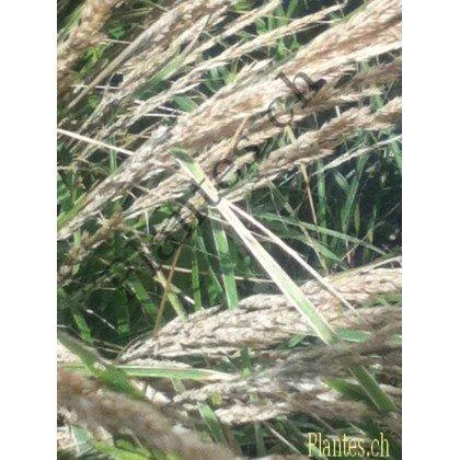 Calamagrostis acutiflora ( Reitgras )
