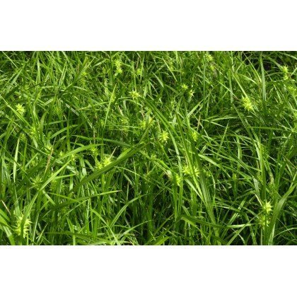 Carex grayi ( Morgenstern-Segge )